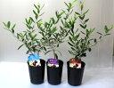 オリーブの木 ミニ【鉢花】【観葉植物】【あす楽対応】