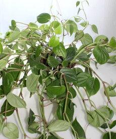フィロデンドロン オキシカルジュームの吊り鉢 観葉植物 鉢花 多肉植物 寄せ植え【あす楽】オキシカルジウム ヒメカズラ ペペロミア