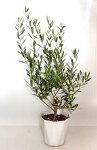 オリーブの木【鉢花】【観葉植物】【あす楽対応】