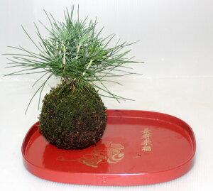 盆栽 季節のコケ玉 黒松 いろはもみじ 花苗 鉢花 寄せ植え こけ玉 苔玉【限定付送料無料】