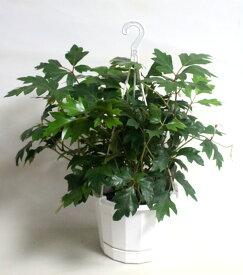 エレンダニカ シッサス 吊り鉢 観葉植物 鉢花 寄せ植え【あす楽】