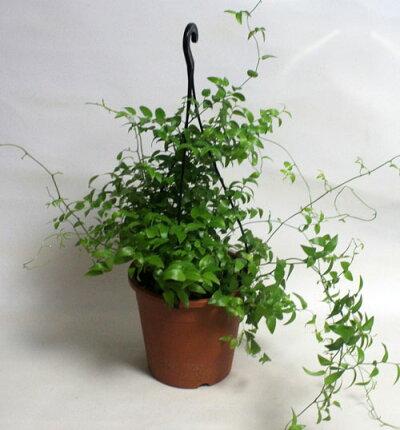 スマイラックス吊り鉢観葉植物鉢花寄せ植え【あす楽】
