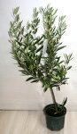 オリーブの木ひなかぜ鉢花観葉植物あす楽対応
