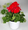 ゼラニューム カリオペ 深紅 ディープレッド ダークレッド【花苗】【鉢花】【寄せ植え】