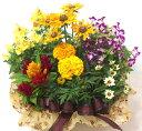 季節の寄せ鉢・ギフトセット 453 【あす楽】【鉢花】【送料無料】【RCP】