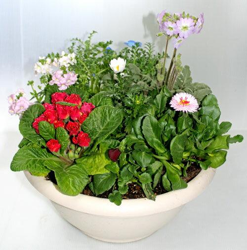 季節の寄せ植えM あす楽 鉢花 寄せ植え ギフト