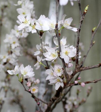 桜の枝 花枝 啓翁桜 東海桜 彼岸桜1把【切花】【生花】【資材】