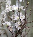桜の枝 花枝 東海桜 彼岸桜1把【切花】【生花】【資材】