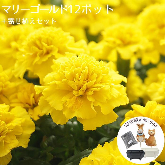 花苗 セット ガーデニングに最適です♪ マリーゴールド12ポット+寄せ植えセット【