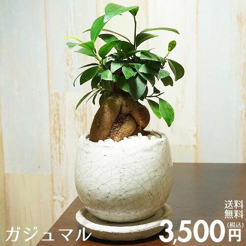 【送料無料】ガジュマル 陶器鉢入り インテリアに最適な観葉植物 ギフトにも♪ 多幸の木