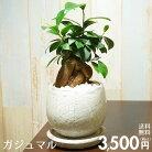 【送料無料】ガジュマル陶器鉢入りインテリアに最適な観葉植物ギフトにも♪多幸の木