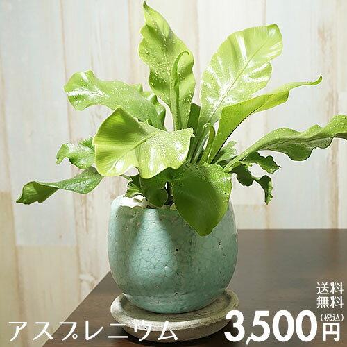 【送料無料】アスプレニウム 陶器鉢入り インテリアに最適な観葉植物 ギフトにも♪