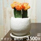 【送料無料】サボテン緋牡丹陶器鉢入りインテリアに最適な観葉植物ギフトにも♪