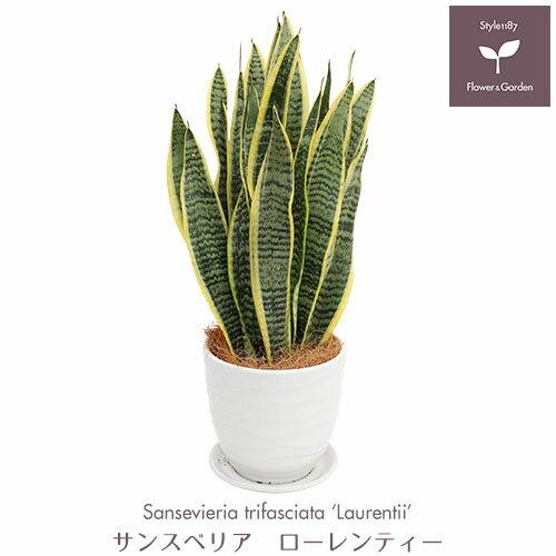 【送料無料】観葉植物 サンスベリア ローレンティー インテリアに最適な陶器鉢入り ギフトにもどうぞ♪ 空気清浄木