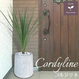 コルジリネ 鉢植え ホワイト