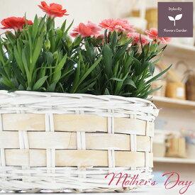 母の日 プレゼント ギフト ガーデンカーネーション3.5号ダブルバスケット 5月9日 鉢花 送料無料 沖縄・離島を除く