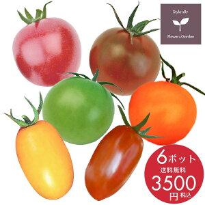 【予約商品】野菜苗 珍しい カラフルな ミニトマト苗 6ポットセット 9cmポット苗 5月中旬のお届け 送料無料 沖縄・離島を除く