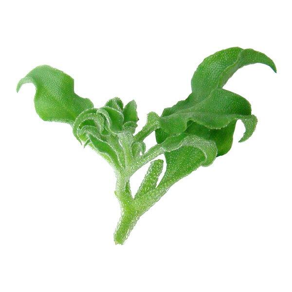 塩味の新食感野菜 アイスプラント(シャインリーフ)250g