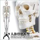 骨格模型 骨格標本 骸骨 ガイコツ 全身模型,人体模型 人体骨格模型 キャスター付き,接骨院 整骨院 整形外科 医学部 研究室