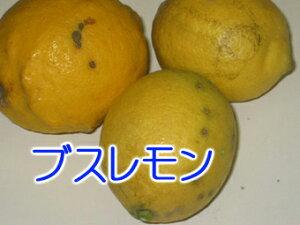 大三島産【ブスレモン1Kg】