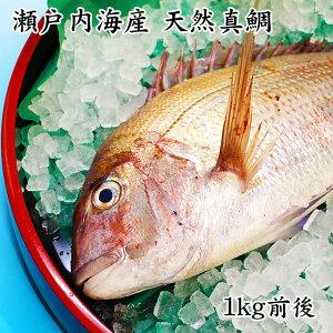 【送料無料】瀬戸内海産 活け締め 天然真鯛 1kg前後 (贈答用)真鯛 鯛 新鮮 天然 お食い初め お取り寄せ お祝い 贈答 プレゼント ギフト
