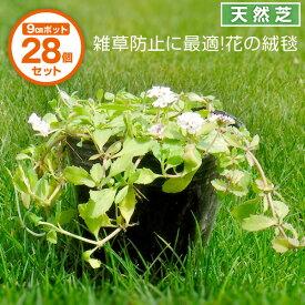 芝生 天然芝 花マット リピア(ヒメイワダレソウ) 9cmポット×28個 花マット グランドカバー