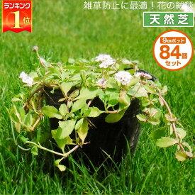 芝生 天然芝 花マット リピア(ヒメイワダレソウ) 9cmポット×84個 花マット グランドカバー