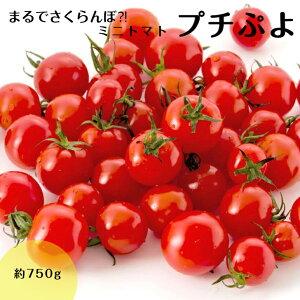 プチぷよ 750g トマト ミニトマト ぷちぷよ プチプヨ 送料無料 宮城県産 みにとまと プチトマト薄皮 さくらんぼ
