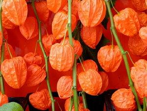 【ほおずき2本の花束】ほおずき 鬼灯 盆 お盆 切り花 お供え 花 お盆用品 生花 お盆飾り セット ほおずき市 ギフト