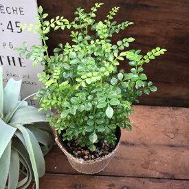 シマトネリコ ☆観葉植物