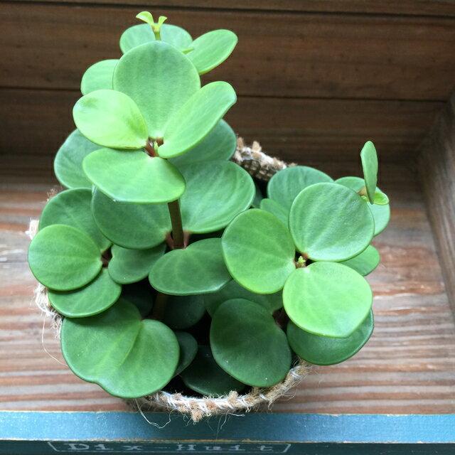 【観葉植物】ホープ(ペペロミア)3号鉢 インテリアグリーン 肉厚の丸い葉