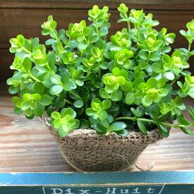 ペペロミア デピーナ☆観葉植物