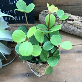 ホープ(ペペロミア)3号鉢 インテリアグリーン 肉厚の丸い葉