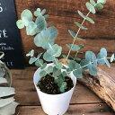 希少 レア品種 ベイビーブルー ユーカリ 観葉植物 ガーデニング