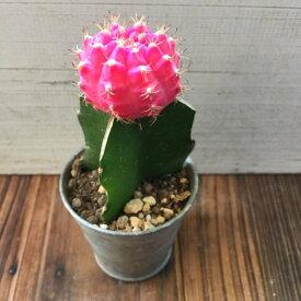 緋牡丹 (ピンク) サボテン 多肉植物 ガーデニング インテリア 観葉植物