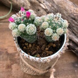 赤花銀手鞠 サボテン 多肉植物 可愛い花 インテリア
