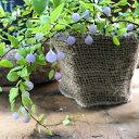 パワーストーン 真珠コケモモ 大人気 観葉植物