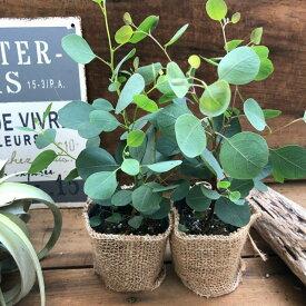 ユーカリ ポポラス 2個セット 花粉症に効く ゆらゆら丸い葉っぱ ガーデニング 観葉植物
