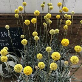 グラスペディア ドライフラワーにも 黄色の花の苗 ガーデニング