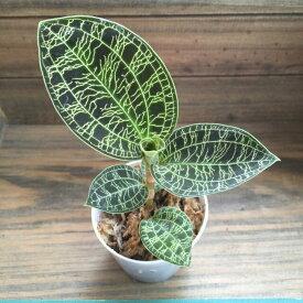 宝石蘭 やっと入荷 キラキラ光る葉脈 ジュエルオーキッド 観葉植物 インテリア