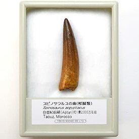 TOKYO SCIENCE スピノサウルスの歯 化石(獣脚類)約40mm 白亜紀前期 産地:モロッコ Spinosaurus aegyptiacus /標本ケース入り