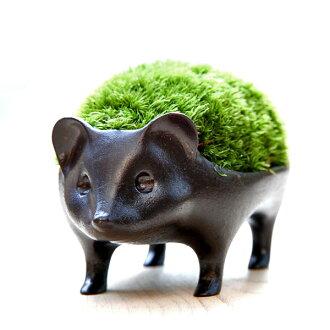 苔蘚盆景刺蝟青銅 /: leucobryum 尾蜥虎