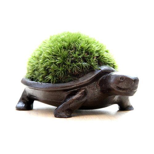 苔盆栽かめブロンズ製/アラハシラガゴケ