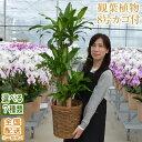 観葉植物 大型 8号鉢(100cm〜) 送料無料 選べる11種 全国配送【観葉植物 鉢 インテリア パキラ 幸福の木(マッサン) ユ…