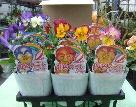 パンジー苗 【サカタのタネ】 虹色スミレ 3.5寸(10.5cm)苗 3種 ×12本セット (送料無料)