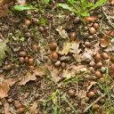 ■森にありそうな『かすみまだら黒褐色木のみ』ナラガシワ/ミズナラ/ウバメガシなど15個■どんぐり/自然素材/ハンドメ…