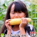 北海道富良野産 スイートとうもころこし 訳あり 恵味(めぐみ) Mサイズ12本入り【訳あり】【送料無料】【10P03Dec16】