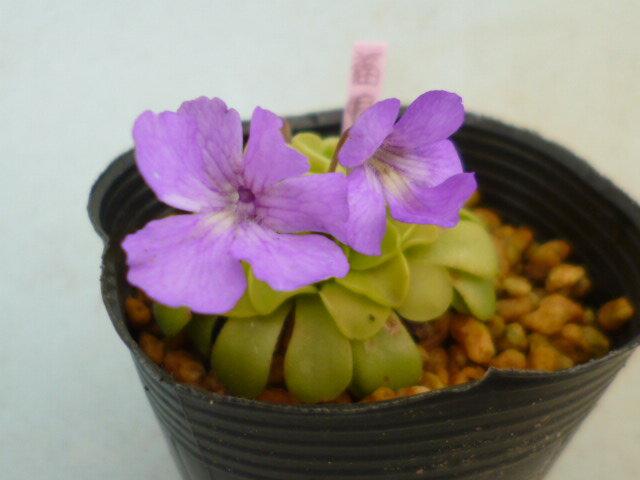 虫取りスミレ 「福娘」(食虫植物)