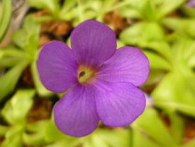 食虫植物 虫取りスミレ「濃紫花」