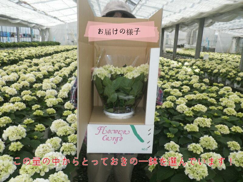 【農家直送】夏の夜も咲き続けるロングライフ・ハイビスカス4号☆選べる8鉢セット!【送料無料】【お買い得】【花】【鉢植え】